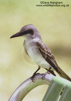 : Tyrannus domenicensis; Grey Kingbird
