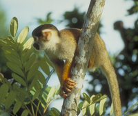 Black-capped squirrel monkey (Saimiri boliviensis peruviensis)