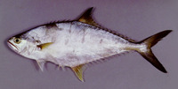 Scomberoides tala, Barred queenfish: fisheries