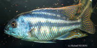 Chilotilapia rhoadesii, Bream: aquarium