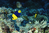 Centropyge bicolor, Bicolor angelfish: fisheries, aquarium