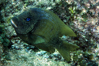Microspathodon bairdii, Bumphead damselfish: