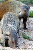 Image of: Herpestes vitticollis (striped-necked mongoose)