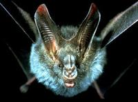 Image of: Megaderma spasma (lesser false vampire bat)