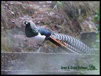 Lady Amherst's Pheasant - Chrysolophus amherstiae