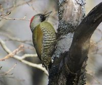 Japanese Woodpecker - Picus awokera