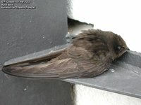 Common Swift - Apus apus