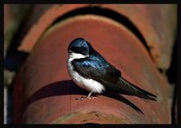 Blue-and-white Swallow - Notiochelidon cyanoleuca