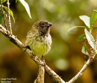 Large Tree-Finch - Camarhynchus psittacula