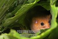 hazel dormouse ( Muscardinus avellanarius ) stock photo