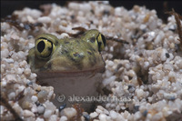 : Scaphiopus couchii; Couch's Spadefoot