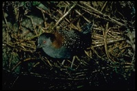 : Laterallus jamaicensis coturniculus; California Black Rail