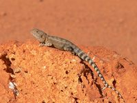 : Ctenophorus caudicinctus; Ring-tailed Dragon
