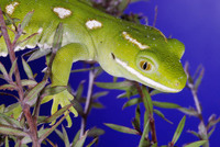 : Naultinus elegans; New Zealand Common Green Gecko