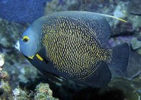 Pomacanthus paru, French angelfish: fisheries, aquarium
