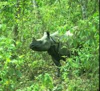 Image of: Rhinoceros unicornis (Indian rhinoceros)