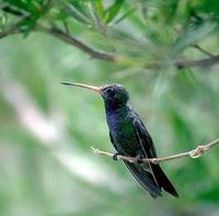 Image of: Cynanthus latirostris (broad-billed hummingbird)
