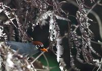 Image of: Garrulax mitratus (chestnut-capped laughingthrush)