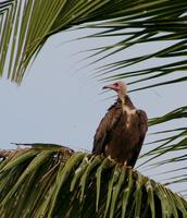 Image of: Necrosyrtes monachus (hooded vulture)