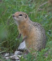 Spermophilus undulatus - Long-tailed Ground Squirrel