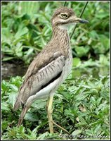 Water Thick-knee - Burhinus vermiculatus