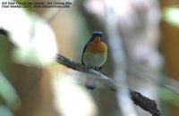 Hill Blue-Flycatcher - Cyornis banyumas