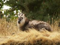 Japanese Serow 1 Flickr