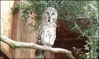 Yuri, the Great Grey Owl