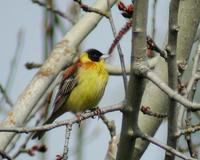 Black-headed Bunting (Emberiza melanocephala)