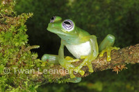 : Centrolene ilex; Ghost Glass Frog