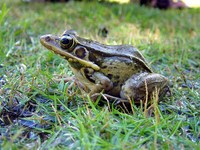 : Rana guentheri; Guenther's Frog