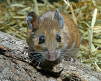 : Peromyscus leucopus; White-footed Mouse