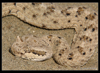 : Crotalus cerastes laterorepens; Colorad Desert Sidewinder