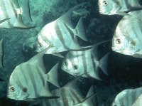 Chaetodipterus faber, Atlantic spadefish: fisheries, aquaculture, gamefish, aquarium