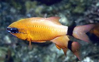 Apogon aureus, Ring-tailed cardinalfish: fisheries, aquarium