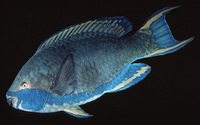 Scarus falcipinnis, Sicklefin parrotfish: fisheries