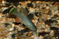 Nothobranchius furzeri, Turquoise killifish: