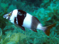 Cheilodactylus nigripes, Magpie perch: fisheries