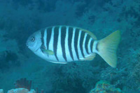 Girella zebra, Zebra fish: fisheries