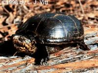 Image of: Kinosternon subrubrum (common mud turtle)