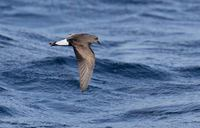Wedge-rumped Storm-Petrel (Oceanodroma tethys) photo