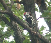 Middle Spotted Woodpecker - Dendrocopos medius