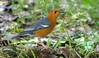 Orange-headed Thrush - Zoothera citrina