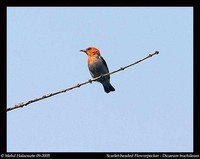 Scarlet-headed Flowerpecker - Dicaeum trochileum