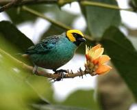 * Saffron Crowned Tanager