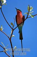 Southern Carmine Bee Eater ( Merops nubicoides ) stock photo