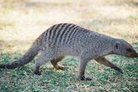 photo of a banded mongoose walking Mungus Mungo