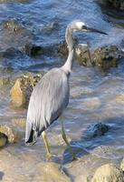 ...White-faced Heron, Ardea novaehollandiae, Tewantin, Queensland, October 2004.  Photo © Barrie Ja
