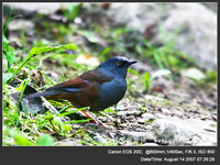 Prunella immaculate Maroon-backed Accentor 栗背岩鷚 119-034