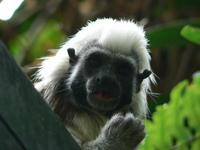 Saguinus oedipus - Cotton-top Tamarin